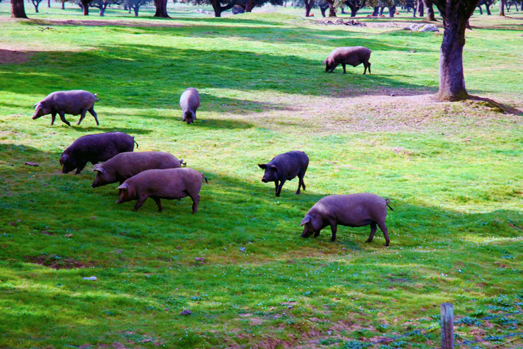 The black pigs of the Alentejo