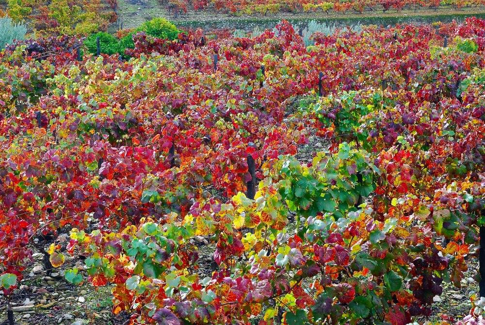 Fall colors in Croft's Quinta da Roêda vineyards